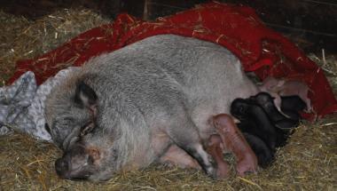11 små grise venter på børnene på 4H Gården